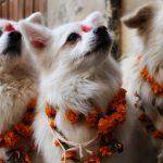 Keunikan Festival Anjing Di Nepal