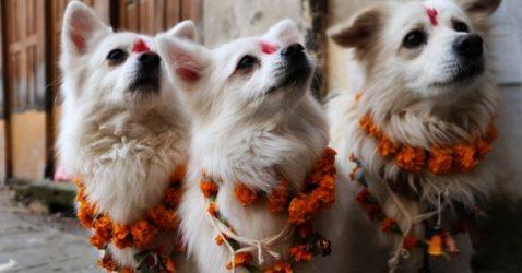 festival anjing