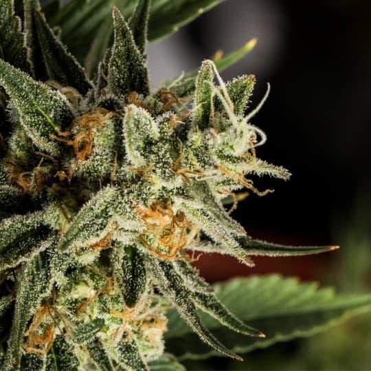 Crockett's Tangie Marijuana Seeds