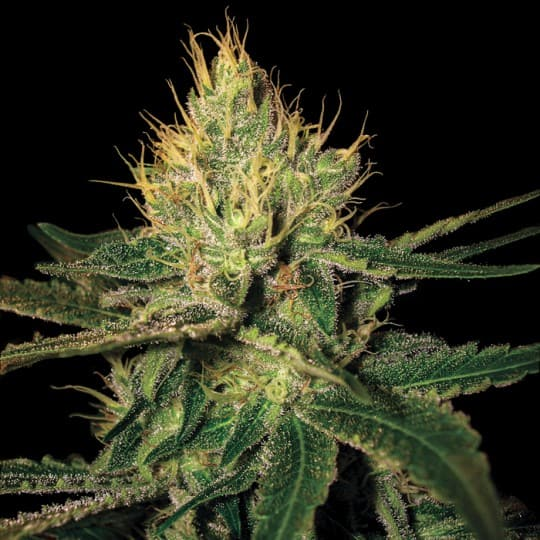 Cannalope Haze Cannabis Seeds