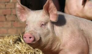 """, الصين تطمئن: إنفلونزا الخنازير """"الجديدة"""" لا تصيب البشر بسهولة, اخبار السودان الان من كل المصادر"""