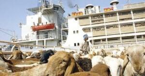 , السعودية تنال الحصة الاكبر من صادر الماشية السودانية, اخبار السودان الان من كل المصادر