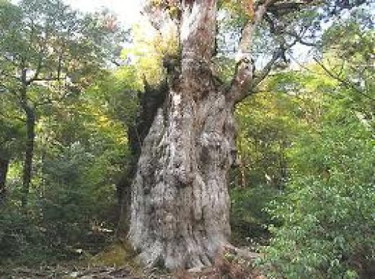 屋久島の縄文杉樹齢7200年