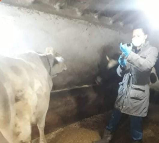 Aslanapa'da ''Şap'' aşısı ve buzağı küpeleme çalışmaları