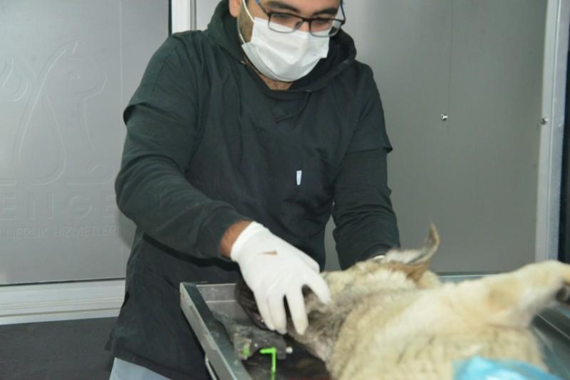 Gediz'de sokak hayvanları için kısırlaştırma, aşılama, küpeleme ve kayıt altına alma çalışmaları