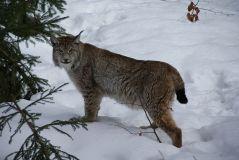 800px-Lynx_Nationalpark_Bayerischer_Wald_01