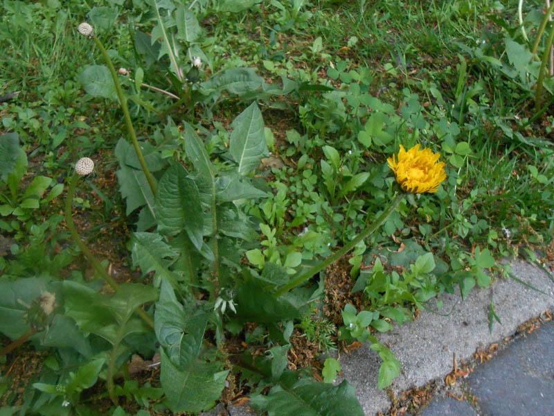 Liście i kwiaty wyrastają z jednej roety