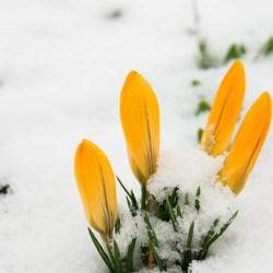 Działkowcy się martwią: na ratunek wiosennym kwiatom