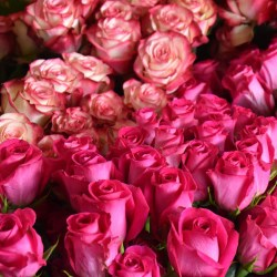 Odliczamy godziny: najpiękniejsze róże już w Kutnie