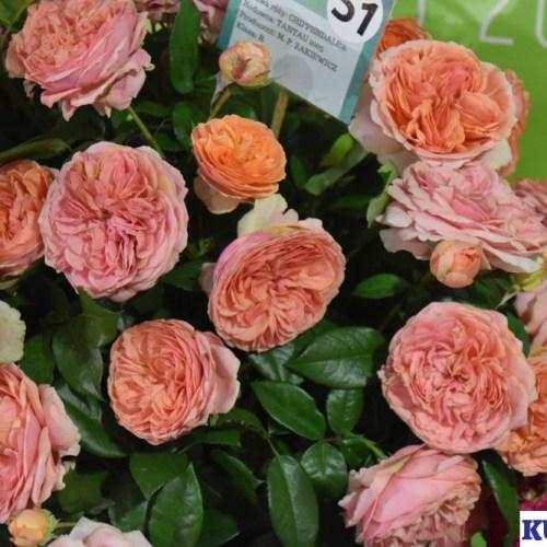 Złota Róża - Chippendale
