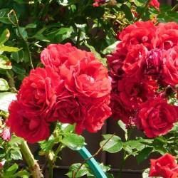 Kiermasz różany w ostatni weekend maja