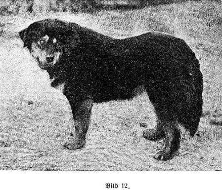 1897 Tibeti Masztiff