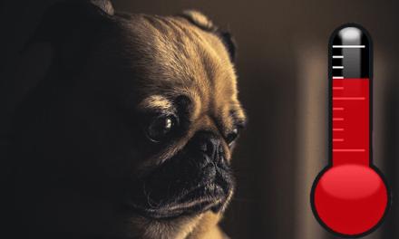A hőguta és a legveszélyeztetettebb kutyafajták