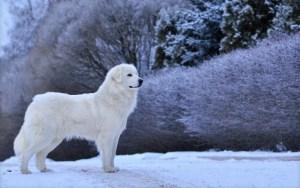 Nagy Pireneusi Hegyikutya a hóban