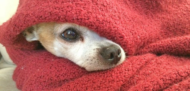 Az alacsony testhőmérséklet veszélyei: A hipotermia kutyákban