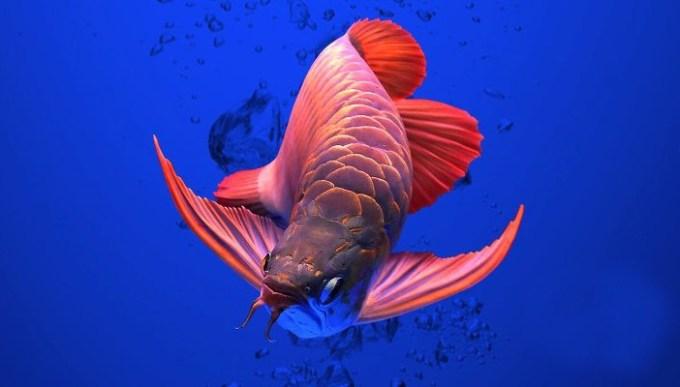 Jenis Ikan Hias Arwana