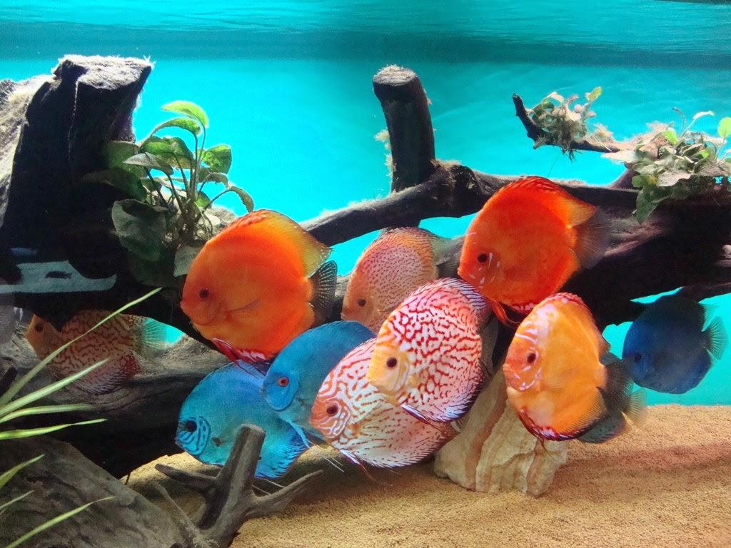 Inilah Harga Jenis-Jenis Ikan Discus Termahal dan Tercantik di Dunia