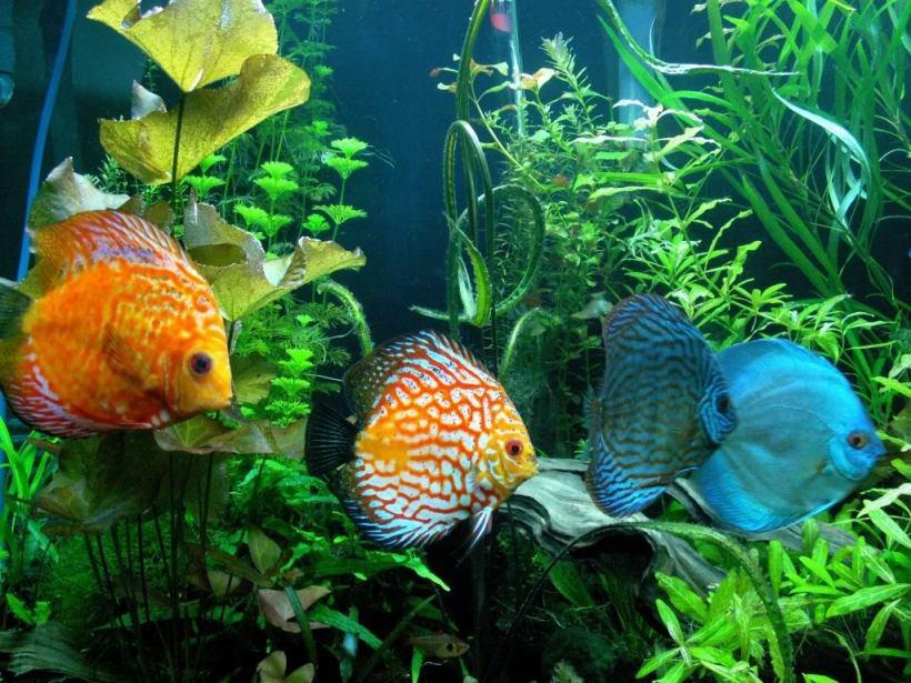 Harga Ikan Discus Termahal dan Tercantik