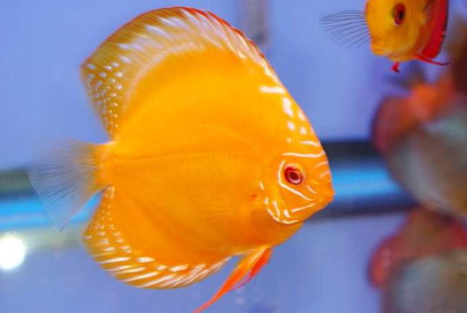 Jenis Ikan Discus Gold Yellow Diamond
