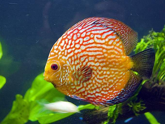 Jenis Ikan Discus Red Ribbon