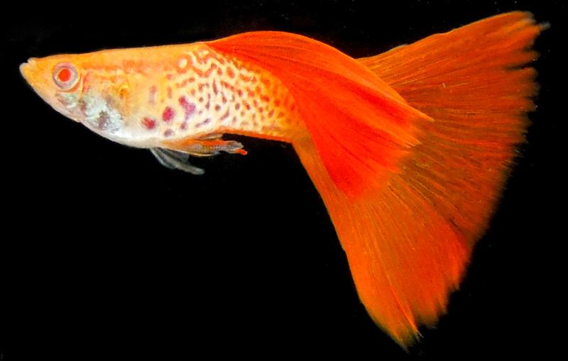 Jenis Ikan Guppy Snakeskin