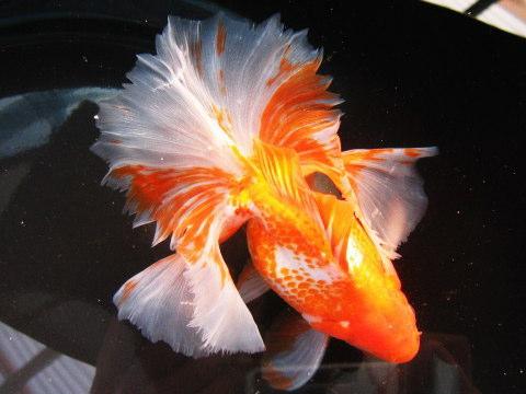 Jenis Ikan Koki Tosa