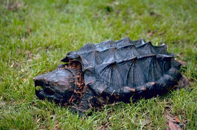 Jenis Kura-Kura Aligator Snapping Peliharaan