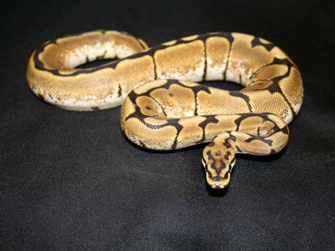 Jenis Ular Peliharaan Ball python