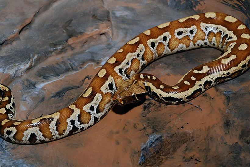 Jenis Ular Peliharaan Blood Python - Dipong