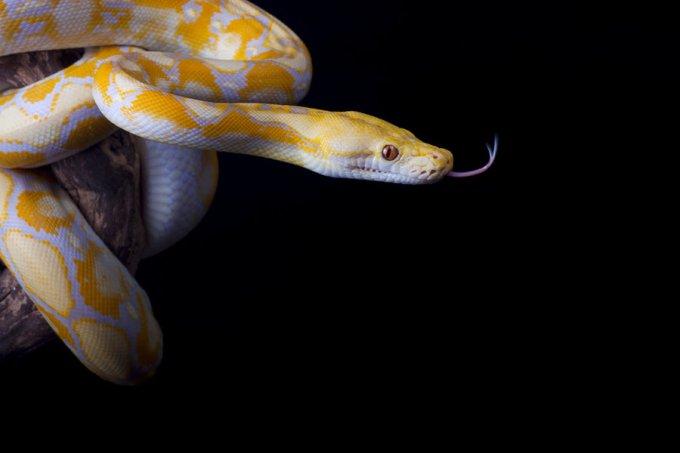 Jenis Ular Peliharaan Python Reticulatus - Sanca Kembang - Retic