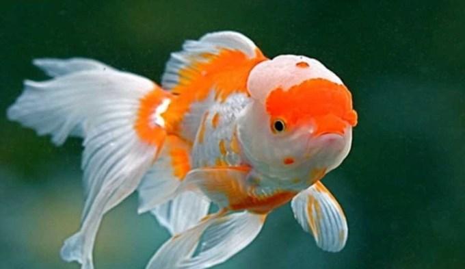 Jenis Ikan Koki Oranda