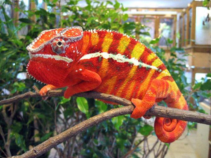 Reptil Peliharaan Bunglon
