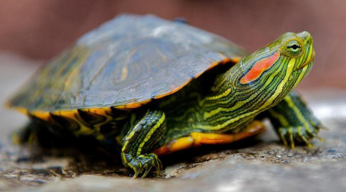 Reptil Peliharaan Kura-Kura Brazil