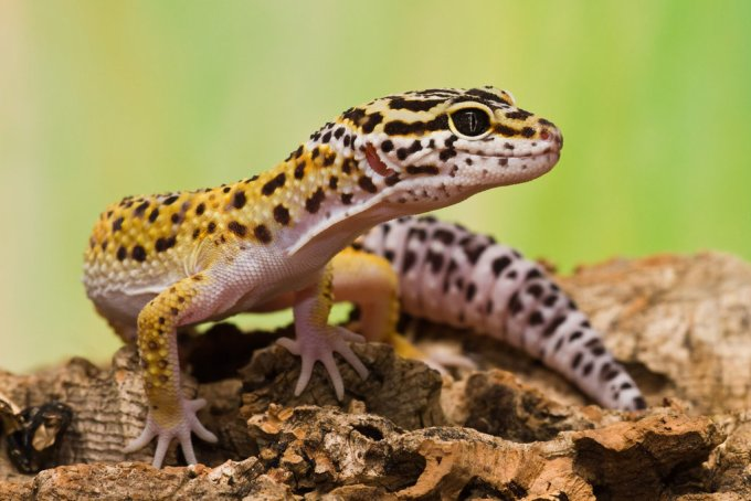 Reptil Peliharaan Leopard Gecko