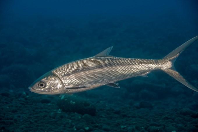 Jenis Ikan Laut - Ikan Bandeng