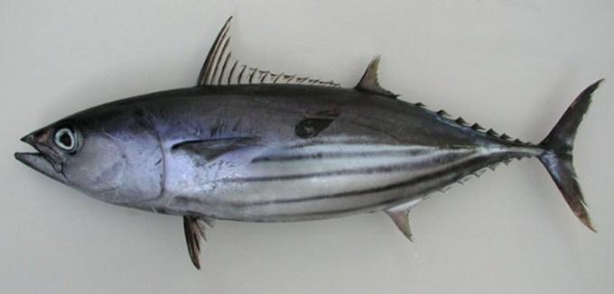 Jenis Ikan Laut - Ikan Cakalang