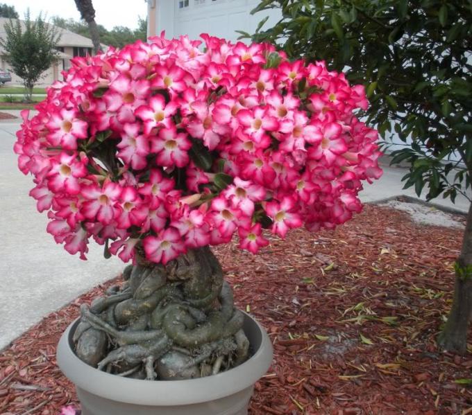 Bunga Kamboja Jepang