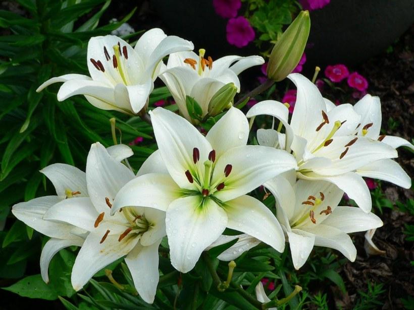 Jenis Bunga Lily yang Amat Menawan