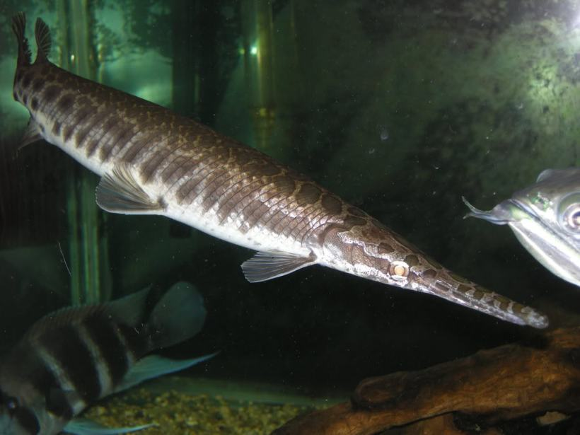 Ikan Aligator Florida Gar