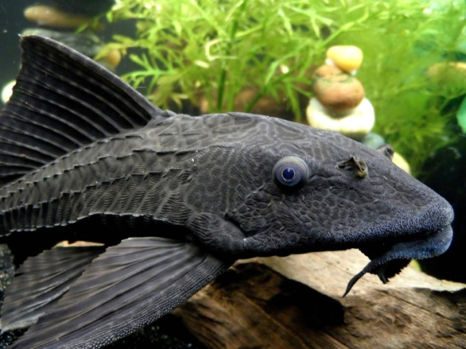 Ikan Sapu-Sapu Common Pleco