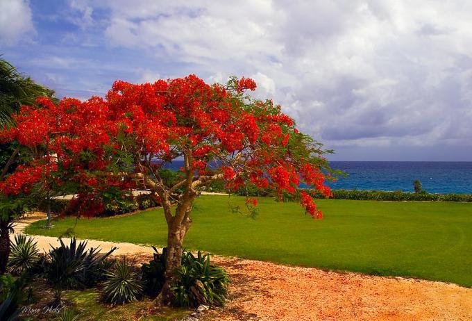 Jenis Bunga Flamboyan Akan Tumbuh Menjadi Pohon Besar