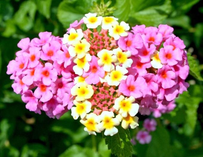 Warna Warni Jenis Bunga Lantana