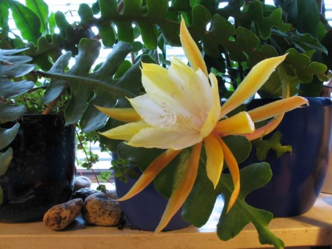 Jenis Bunga Kadupul yang Semakin Langka