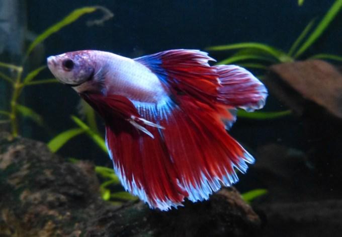 Jenis Ikan Cupang Double Tail (Cagak)