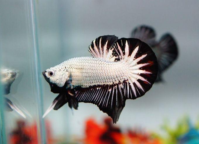 Jenis Ikan Cupang Plakat (Laga)