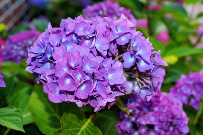 Jenis Bunga Hortensia yang Begitu Cantik