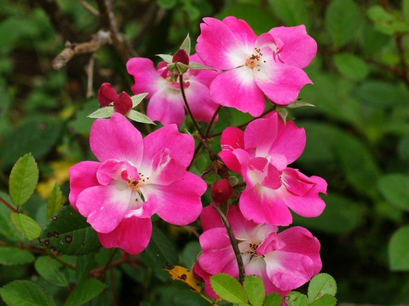 Bunga Mawar Liar