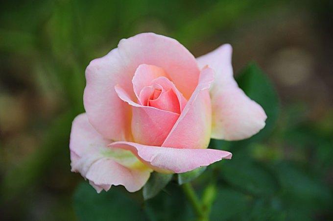Bunga Mawar Taman Modern