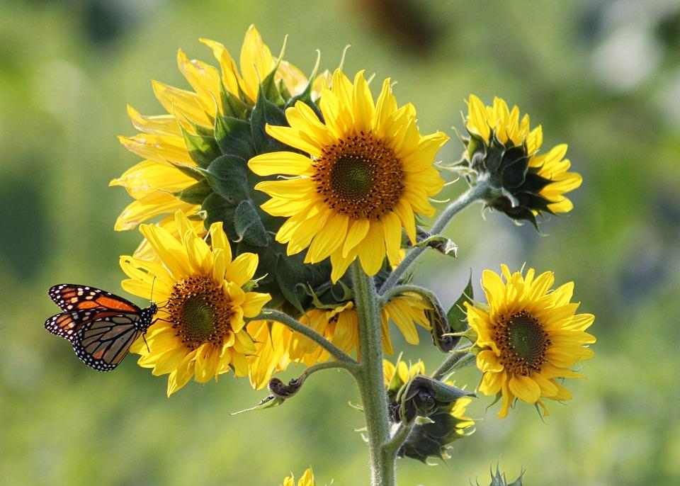 Jenis-jenis Bunga Matahari Tercantik, Lengkap dengan Manfaat dan Fakta Uniknya