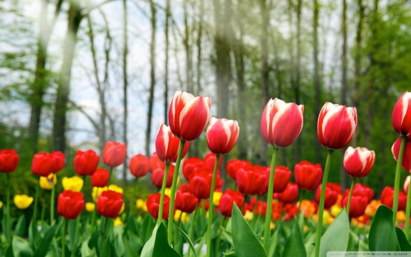 Cantiknya Gambar Jenis Bunga Tulip Dari Berbagai Taman Di Dunia Kuya Hejo